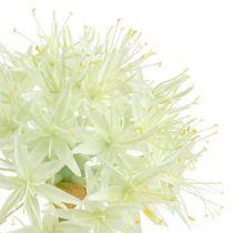 Allium crema blanca L76cm