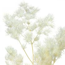 Espárragos secos decoración blanco hierba ornamental seca 80g