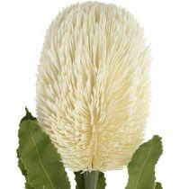 Flores Artificiales Banksia Crema Blanca Artificiales Exóticas 64cm