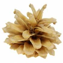 Cono de pino de montaña Pinus mugo cream 2-5cm 1kg