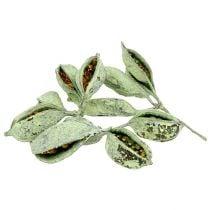 Brachyciton verde helado 500g