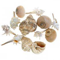 Conchas decorativas y caracoles vacíos blanco, decoración natural marítima 350g