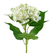 Hortensia Blanco-Verde 60cm