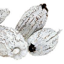 Frutos de cacao lavados blancos