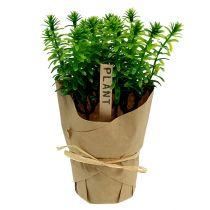 Hierbas en la maceta 16cm verde