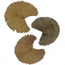 Hojas de loto naturaleza seca decoración seca almohadilla de lirio 50 piezas
