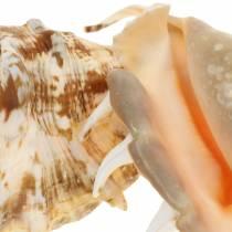 Lambis caracol de mar natural 14cm 10pcs