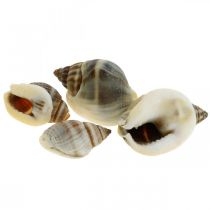 Decoración natural, conchas de caracol natural 1–2cm, decoración de concha 1 kg