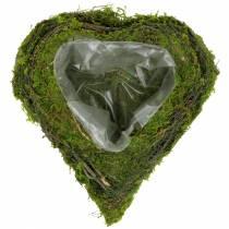 Planta corazón vid, musgo 22cm x 20cm H7cm