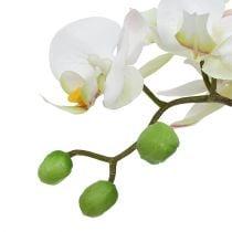 Phalaenopsis crema en maceta de cerámica 33cm