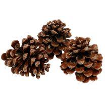 Pinus Pinea mediano 10 / 14cm naturaleza 50p