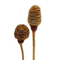 Platyspermum Creme 1-3, 50 cabezas