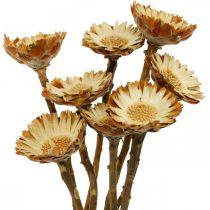 Protea Compacta Rosette Flor Seca Natural Azúcar Arbusto 8pcs