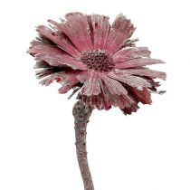 Protea rosetón jaspeado mate Ø8-9cm 25pz
