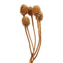 Sabulosum 4-6 cabezas por rama (24) 200 piezas
