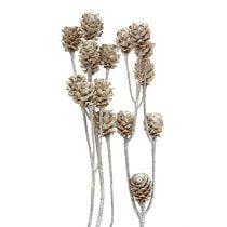 Salignum blanqueado 25pcs