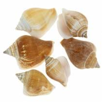 Conchas de caracol Strombus canarium nature 1050g
