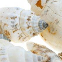 Conchas de caracol decorativas vacías en una red de líber Caracoles de mar 400g