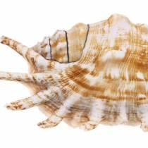 Caracol de mar milpiés natural 11-15cm 10pcs
