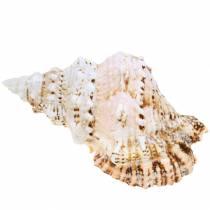 Caracol de mar caracol rana gigante natural 18-20cm