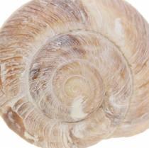 Concha de caracol blanqueada 24h