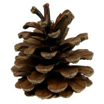 Cono de pino negro natural 10kg