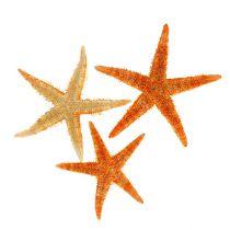 Estrella de mar seca 8cm - 10cm 10pcs