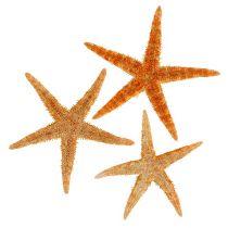 Mezcla de estrellas de mar 8cm - 10cm 50p