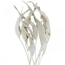 Strelitzia hojas lavadas blancas, secas 45-80cm 10 piezas