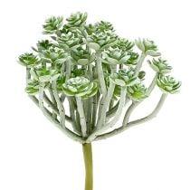 Suculenta Echeveria 17cm gris 3pcs