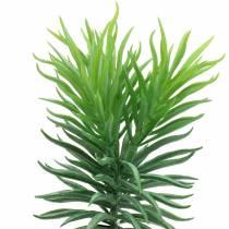 Suculenta Senecio ragwort verde 20cm