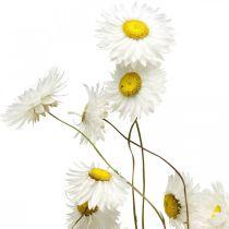 Flores secas Acroclinium Flores blancas Flores secas 60g