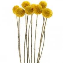Flor seca Craspedia Manojo de baquetas secas amarillas