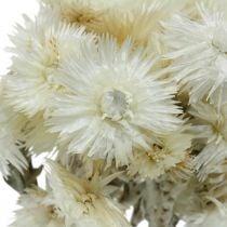 Flores secas Flores de gorro blanco natural, flores eternas, ramo de flores secas Al 33cm