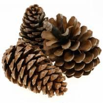 Pinus Pinea grande 14 / 18cm naturaleza 50p