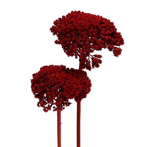 Achillea 1kg de vino tinto