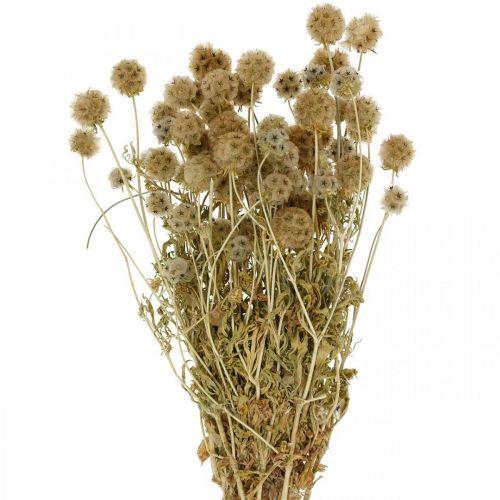 Scabiosa dry nature Flores secas de Scabiosa H50cm 100g