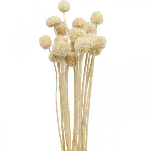 Craspedia muslo de crema seca floristería seca 20 piezas