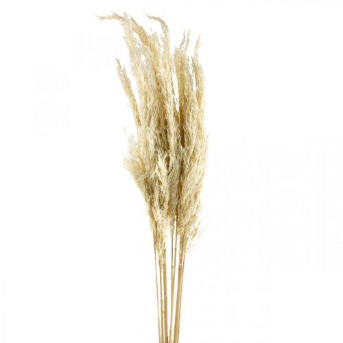 Hierba de la pampa, seca, blanqueada 75cm Para un ramo seco Ramo de 10 piezas