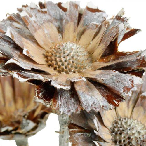 Exotic Mix Protea Rosette Natural, Blanco Lavado Flor Seca 10pcs