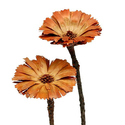 Repens roseta natural 6-7cm 50pcs