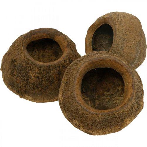 Nuez del paraíso para plantar, maceta natural, Sapucaia para decorar Ø6–7cm H10.5–11cm 3 piezas