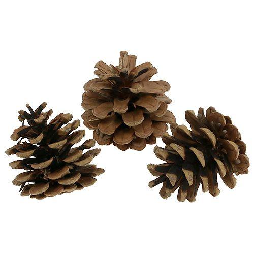 Conos de pino negro 5cm natural 5pcs