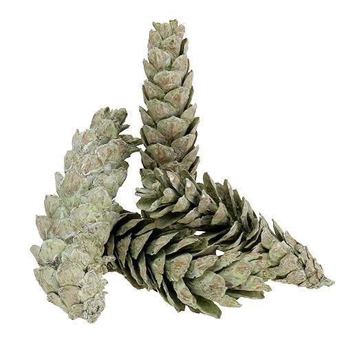 Conos Strobus como decoración natural 15cm - 20cm verde 50pcs