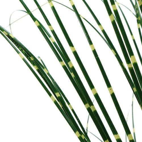 Hierba cebra en maceta verde 60cm